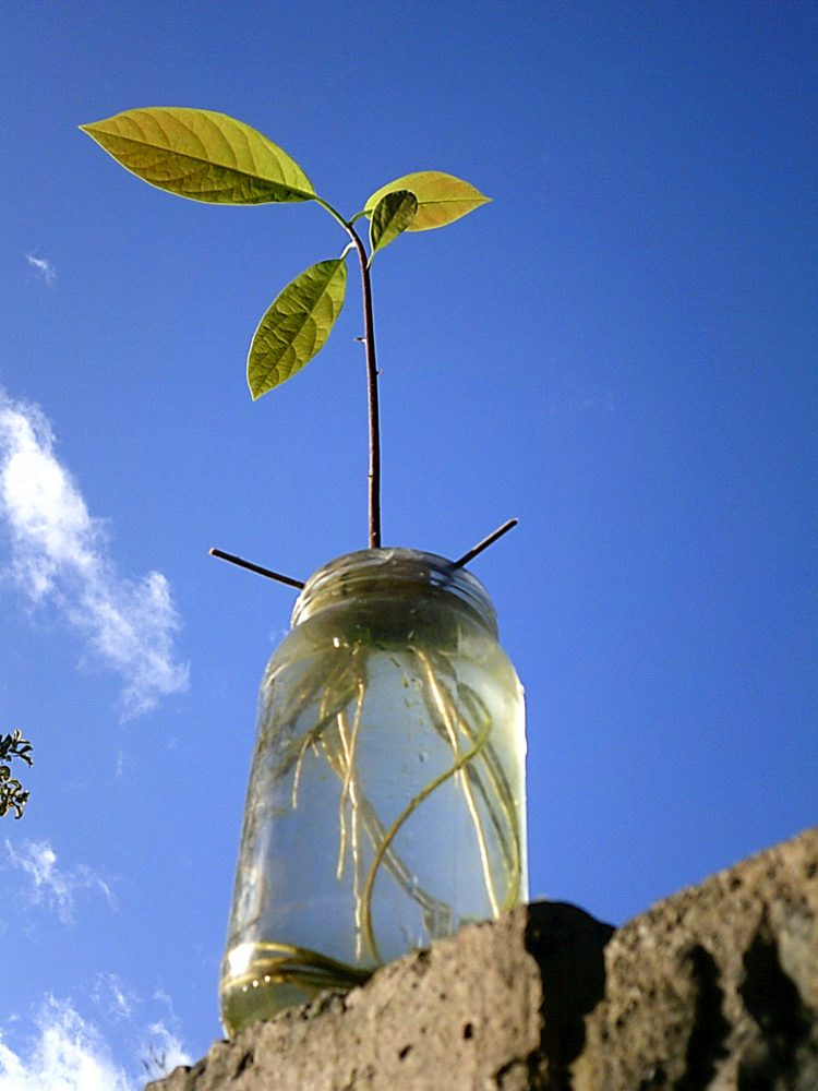 In recovery we are encouaged to grow a plant, my answer was the avocado!!